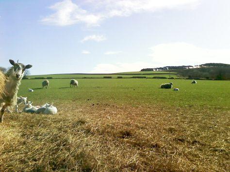 MM lambs.jpg